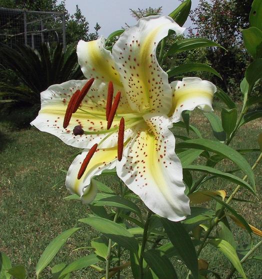 Lilium-specie-auratum-1